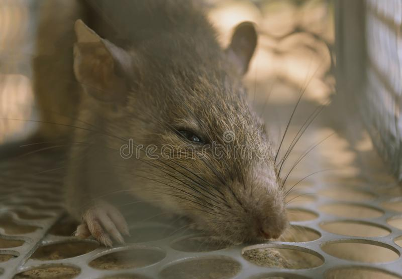 rat photographie stock