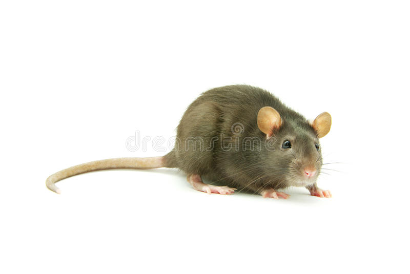 Download Rat stock photo. Image of white, mouse, domestic, pets - 11050430