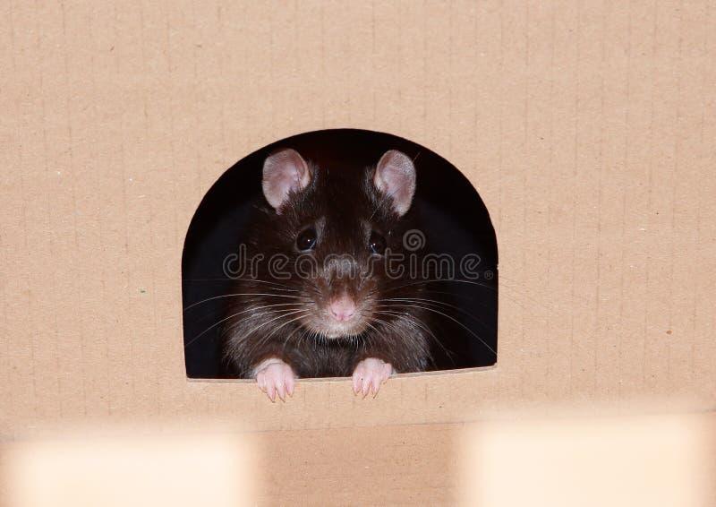 Rat2 arkivbild