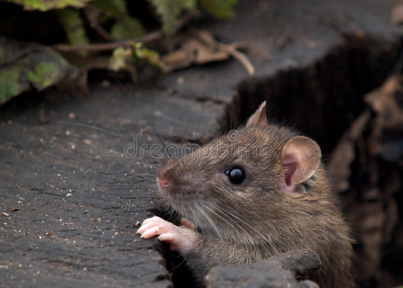 Rat photo stock
