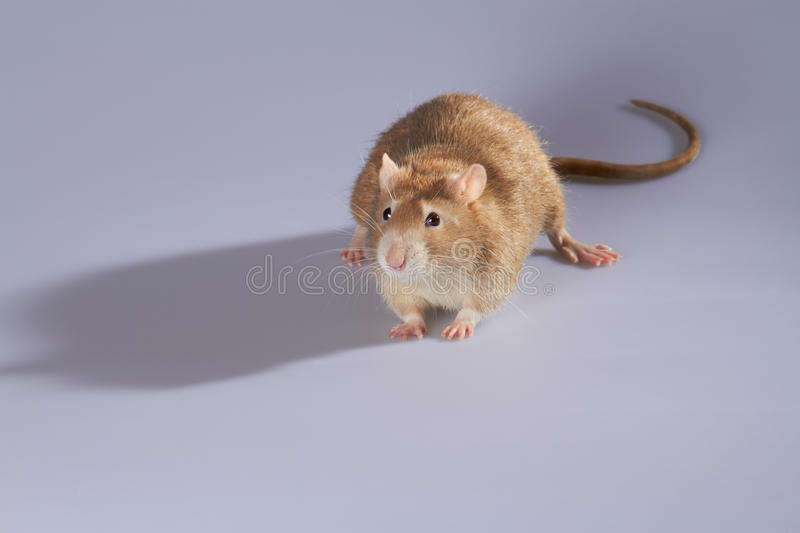 Download Rat stock photo. Image of cute, domestic, shadow, mouse - 20751168