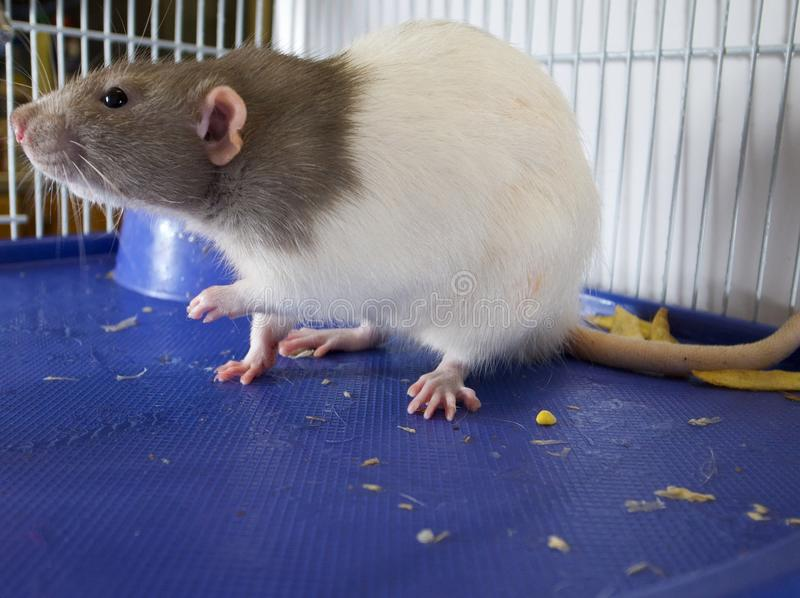 Download Rat stock image. Image of stare, pets, animals, whisker - 24445351