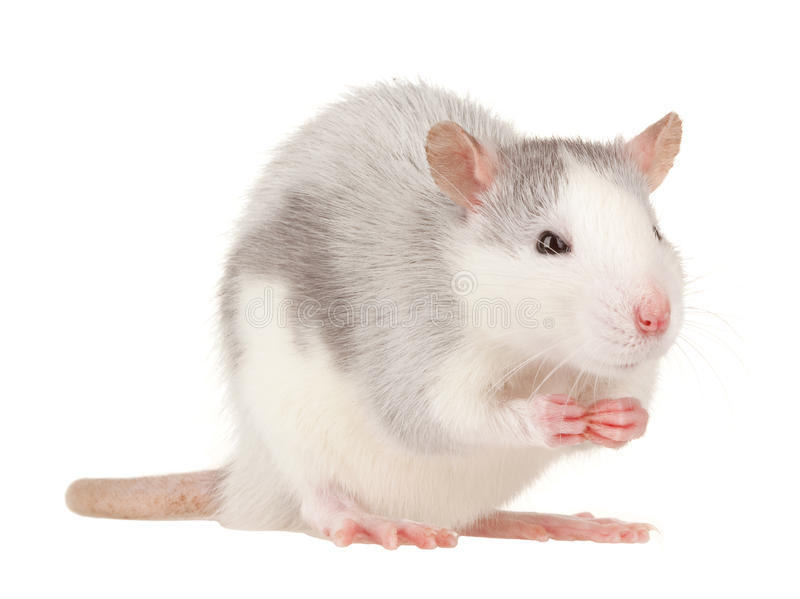 Rat. Isolated on white background