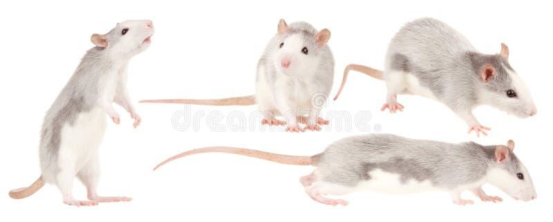 Rat stock image