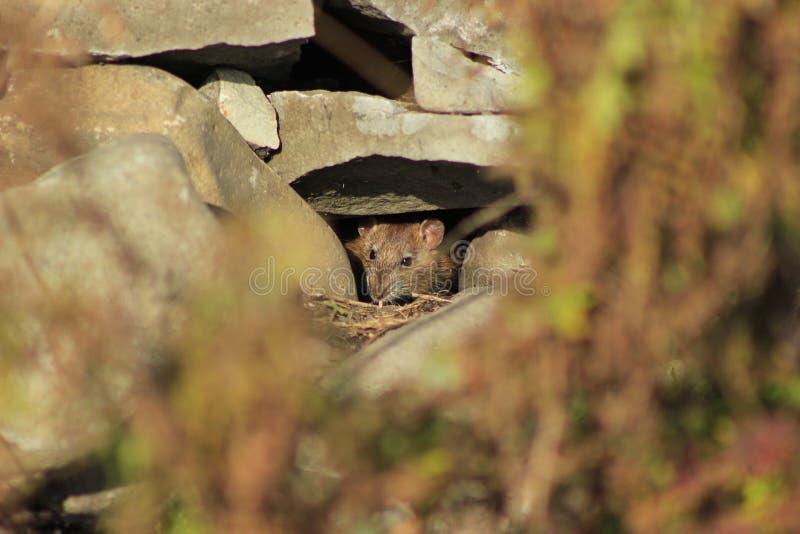 Rat image libre de droits