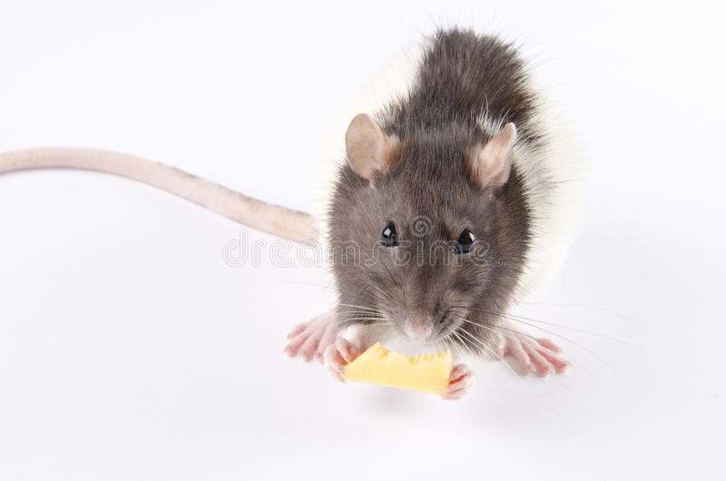 Download Rat stock image. Image of animal, funny, cheese, laboratory - 28018411
