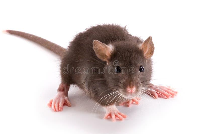 Rat royalty free stock image