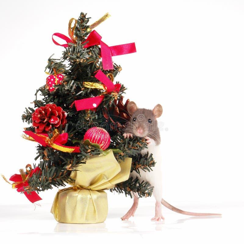 Rat images stock