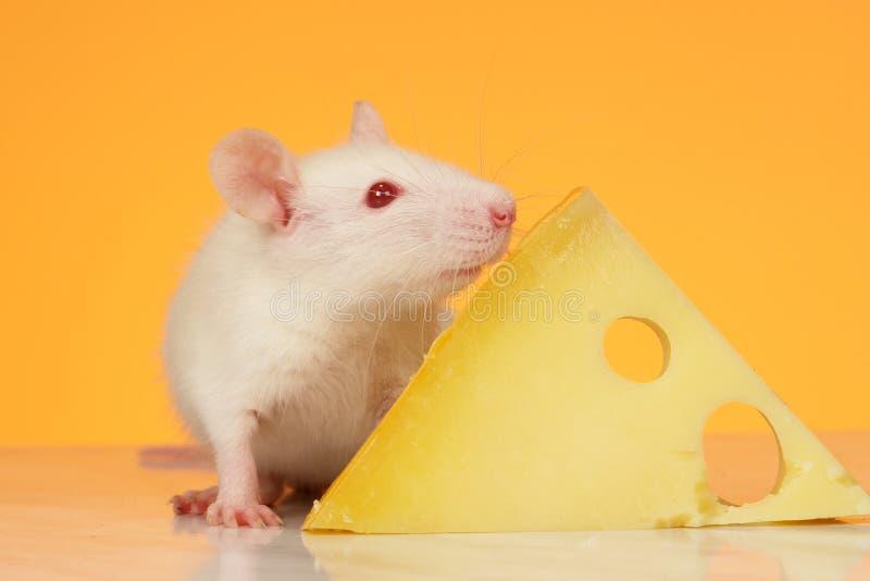 Rat photos libres de droits