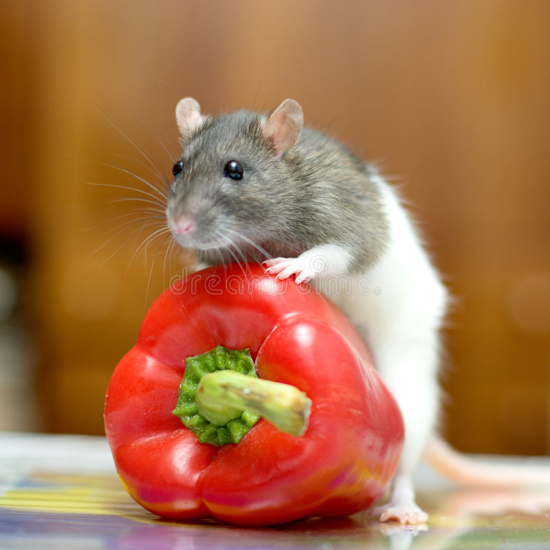 Rat. The rat posing with red pepper royalty free stock photography