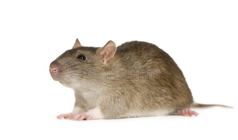 Rat (6 months) stock image