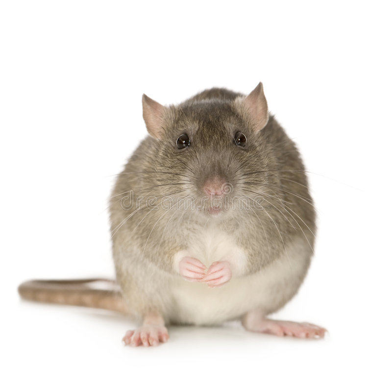 Rat (6 months). In front of a white background royalty free stock photo