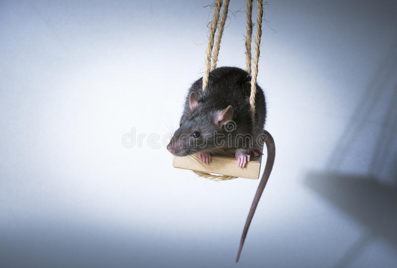 rat images stock