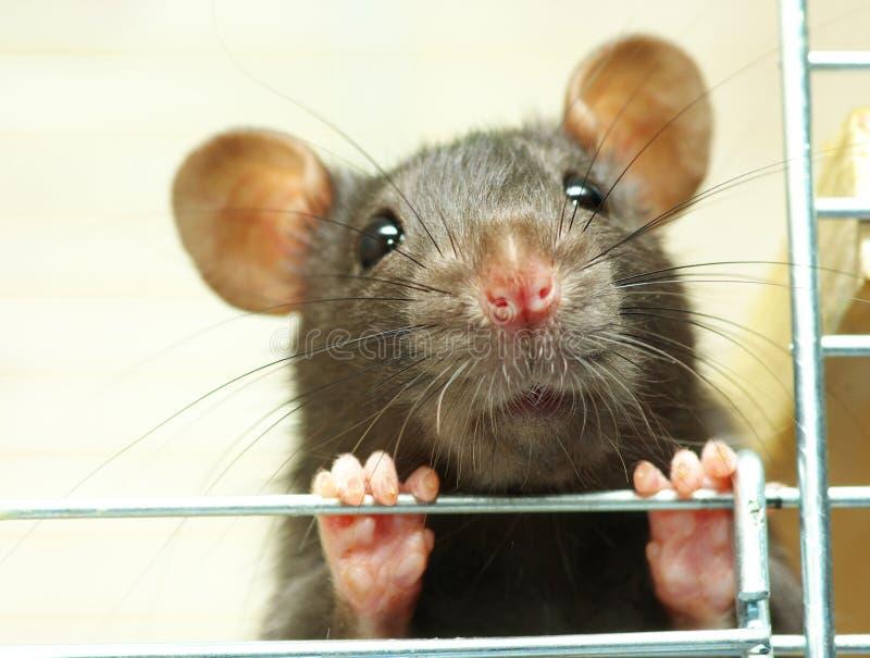 rat images libres de droits