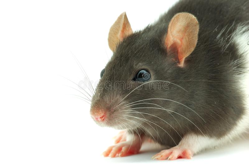 Download Rat stock image. Image of domestic, furry, rodent, studio - 8476437