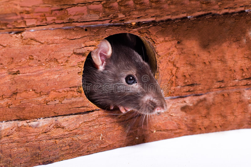 Rat. A rat searching for food. Close-up shot royalty free stock image
