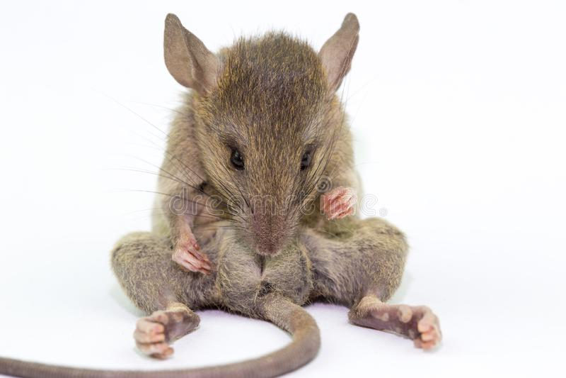 Rat animal de souris mangeant le scrapsbin de nourriture d'isolement sur le fond blanc photographie stock