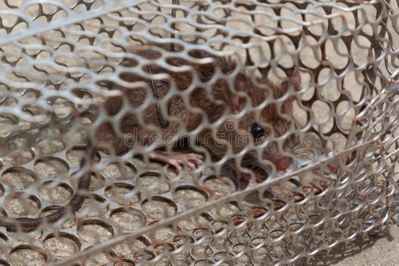 Rat avec crainte dans la cage photographie stock libre de droits