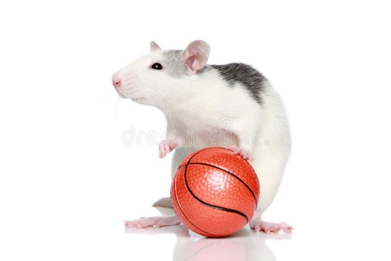Rat avec la bille images libres de droits
