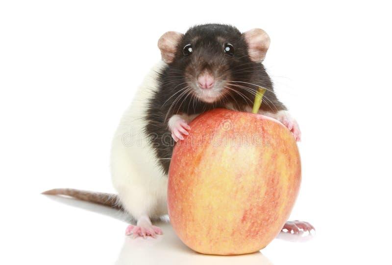Rat avec une grande pomme photo libre de droits