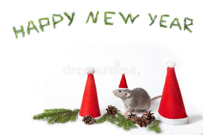 Rat-bête décoratif entre chapeaux de santa sur fond blanc isolé. An du rat. An neuf chinois. Animal familier de charme images stock