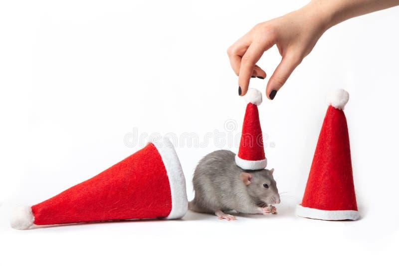 Rat-bête décoratif entre chapeaux de santa sur fond blanc. La main d'une femme met un chapeau au Père Noël sur un rat photo stock