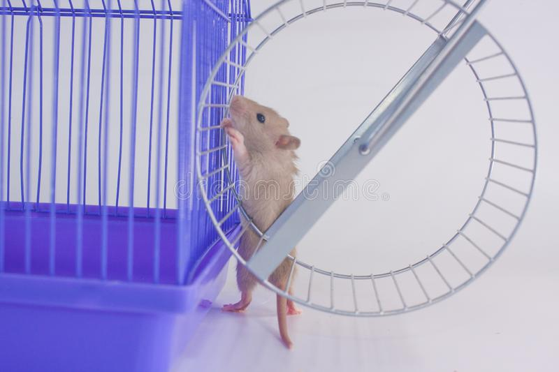 Rat on the background of the cage and wheels. royalty free stock photos