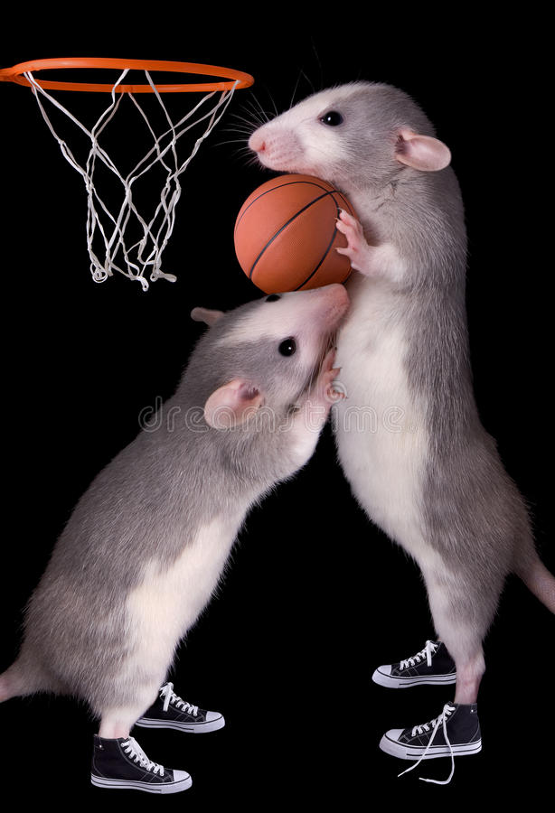 Rat basketball. Two baby dumbo rats are playing basketball royalty free stock images