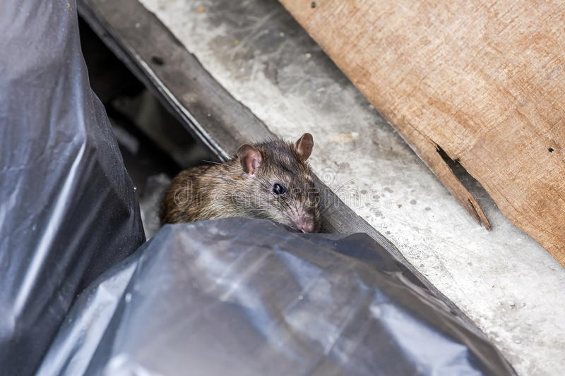 A rat behind the garbage bag. Selective focus royalty free stock photo