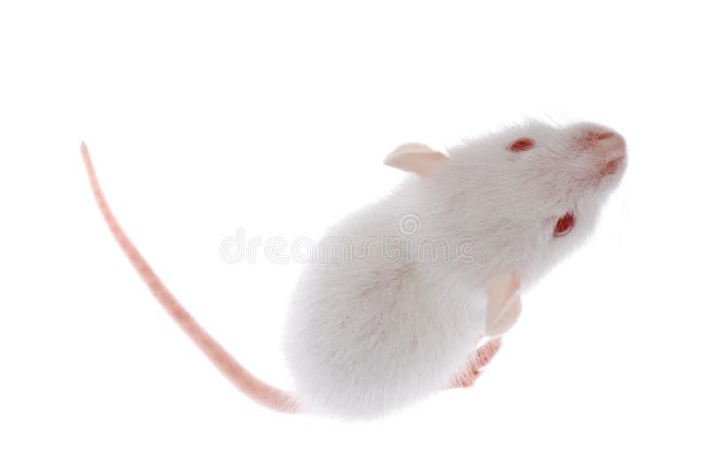 Rat blanc image stock