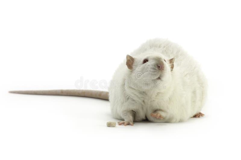 Rat blanc d'animal familier sur un fond blanc images libres de droits