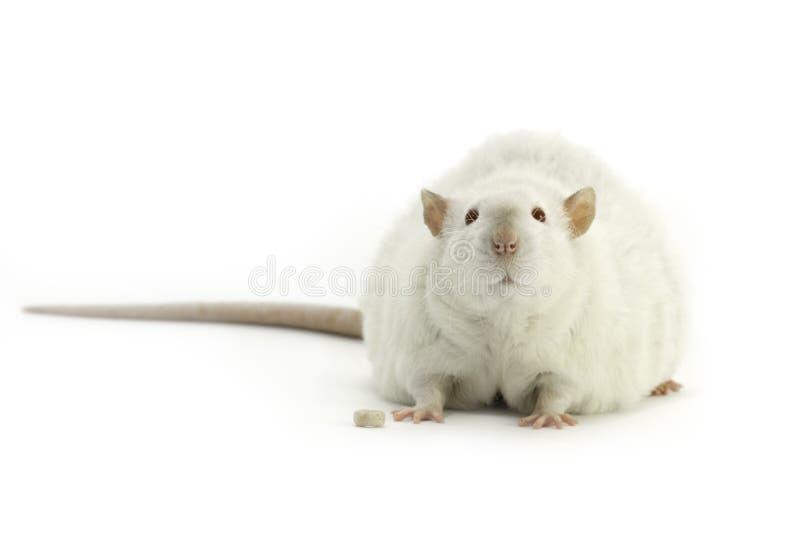 Rat blanc d'animal familier sur un fond blanc image stock
