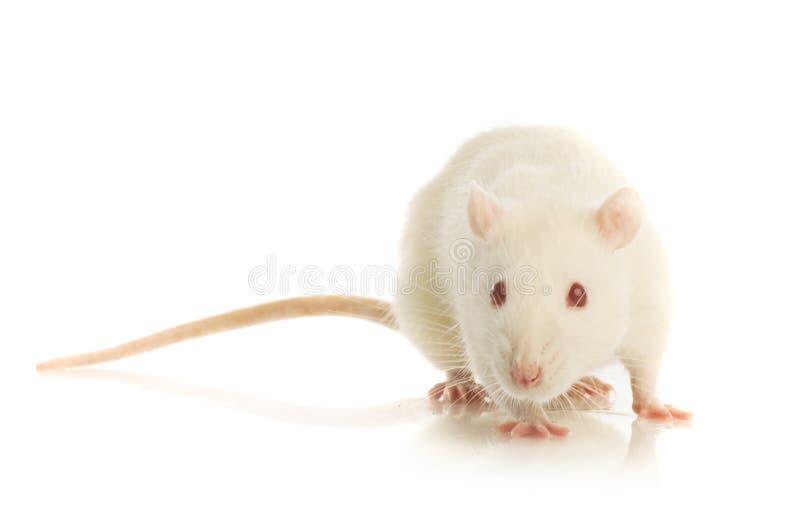 Rat blanc d'isolement photo libre de droits