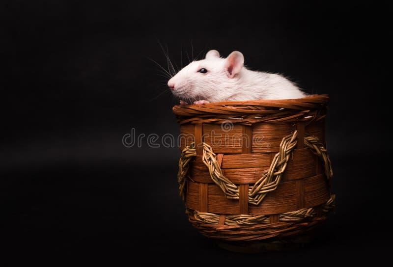 Rat blanc d'isolement sur le fond foncé photo libre de droits