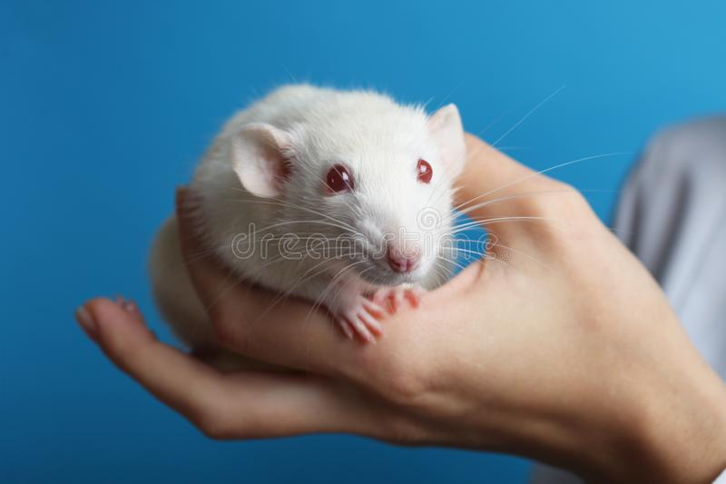 Rat blanc dans des mains photos stock