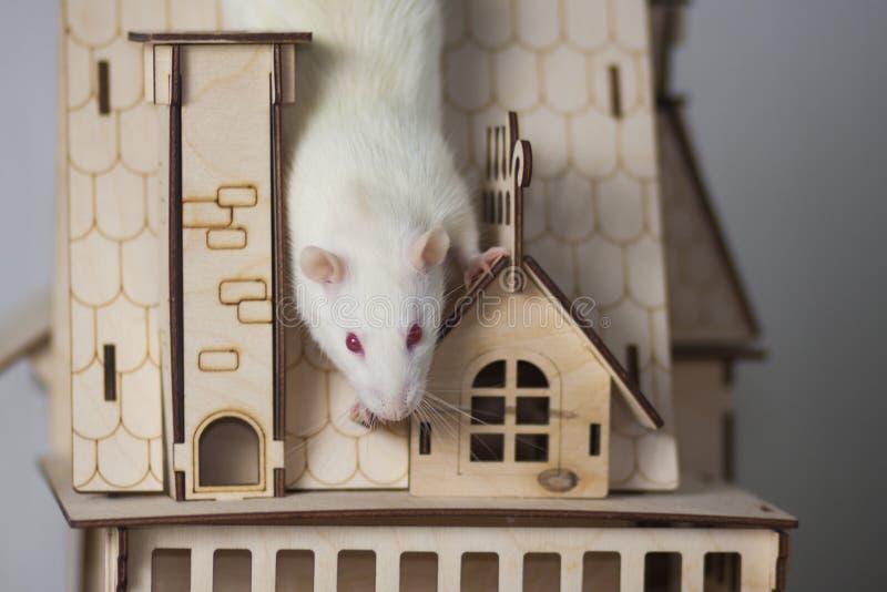 Rat blanc dans une maison en bois Palais de souris photo libre de droits