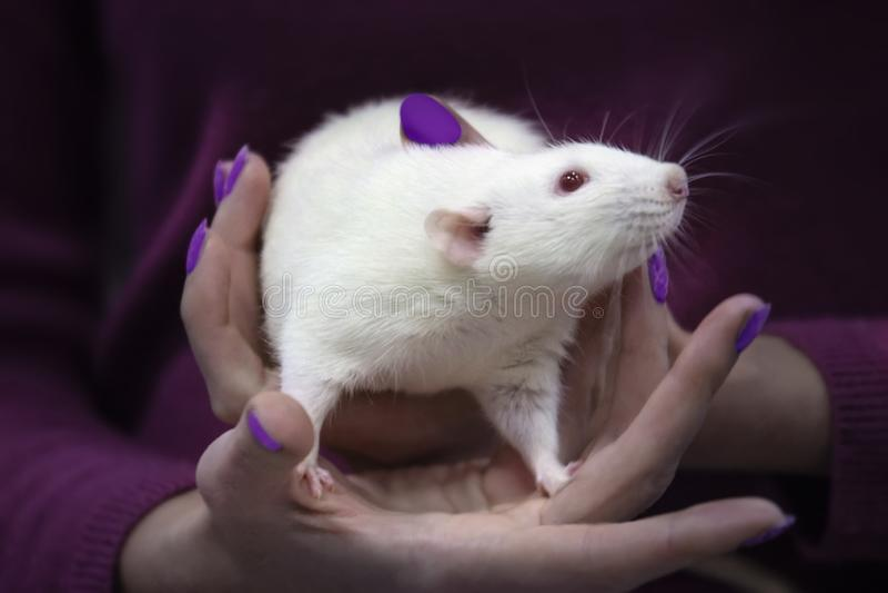 Rat blanc mignon dans les mains photographie stock libre de droits