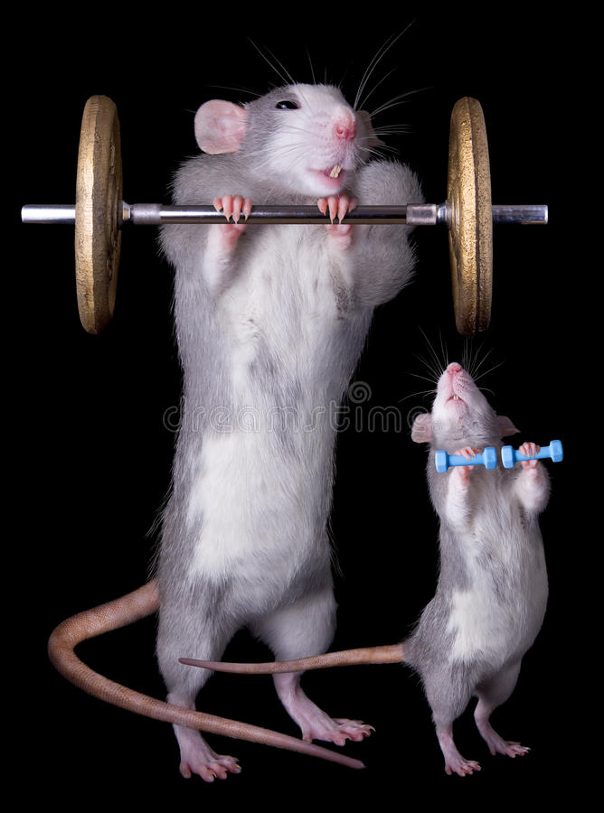 Rat Bodybuillders. A baby rat tries to imitate his parent lifting weights royalty free stock image