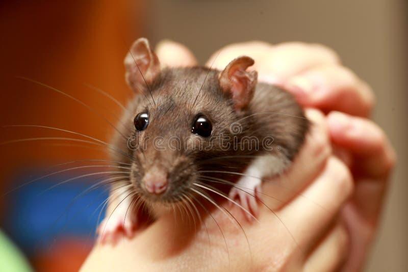 Rat brun d'animal familier amical dans la main humaine, animaux à la maison images libres de droits