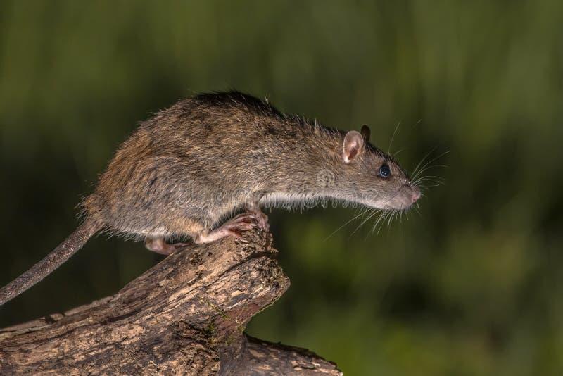 Rat brun sauvage environ ? sauter images libres de droits