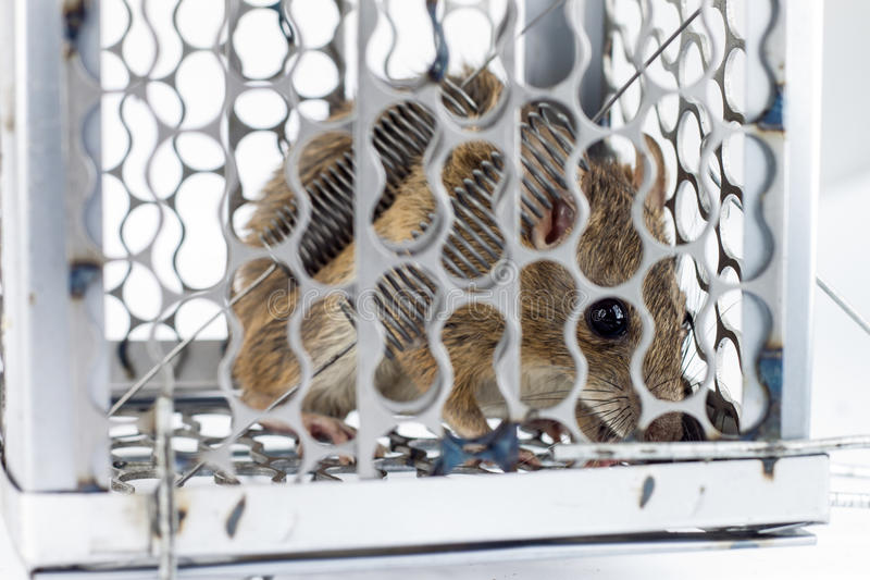Rat in the cage trap. In white background stock photos