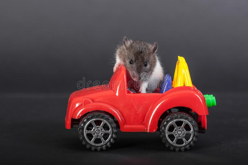 Rat and car. Domestic baby rat on the toy car royalty free stock photography