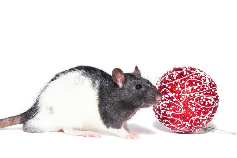 Rat on white background. Rat with Christmas ball on isolated white background royalty free stock photos