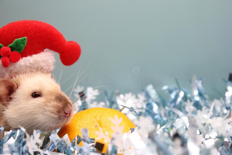 A rat in a Christmas hat and a tangerine among the Christmas tinsel. Happy New year of rat 2020 in the Chinese calendar stock images