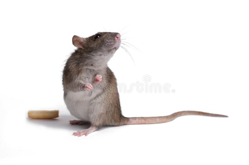 Rat close up isolate on white stock photography