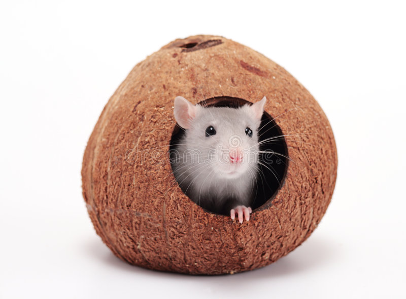Rat in coco. On a white background royalty free stock photos