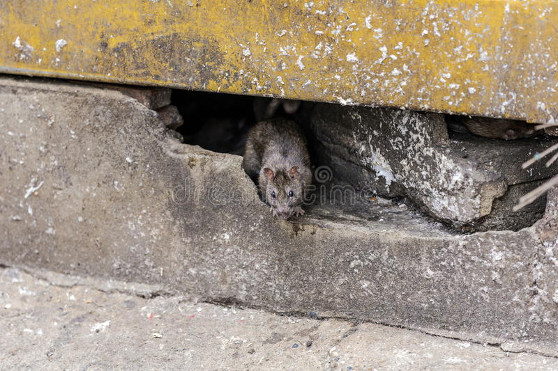 A rat come out from under the building. Selective focus royalty free stock photos