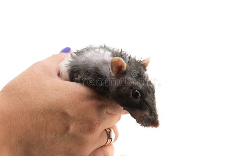 Rat décoratif noir et blanc après s'être baigné sur ses mains, sur un fond blanc photo libre de droits