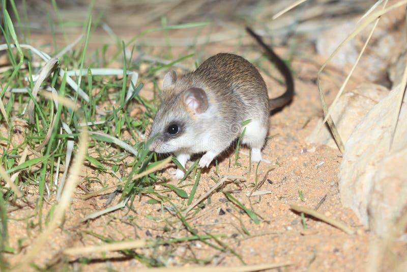 Rat d'acacia image stock
