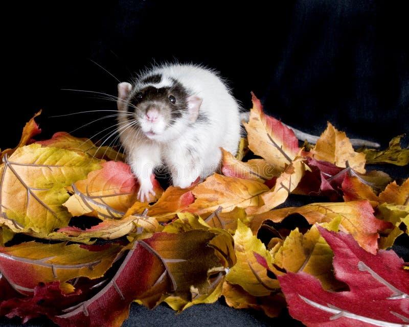 Rat d'animal familier image stock